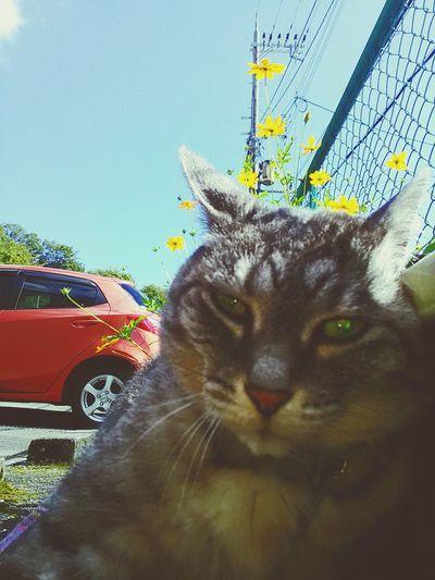 コスモスが咲いたにゃ Cute Cat Mycat KAWAII Playing With The Animals Zenfone5 Zenfone Photography ねこ ダンディ Dandy