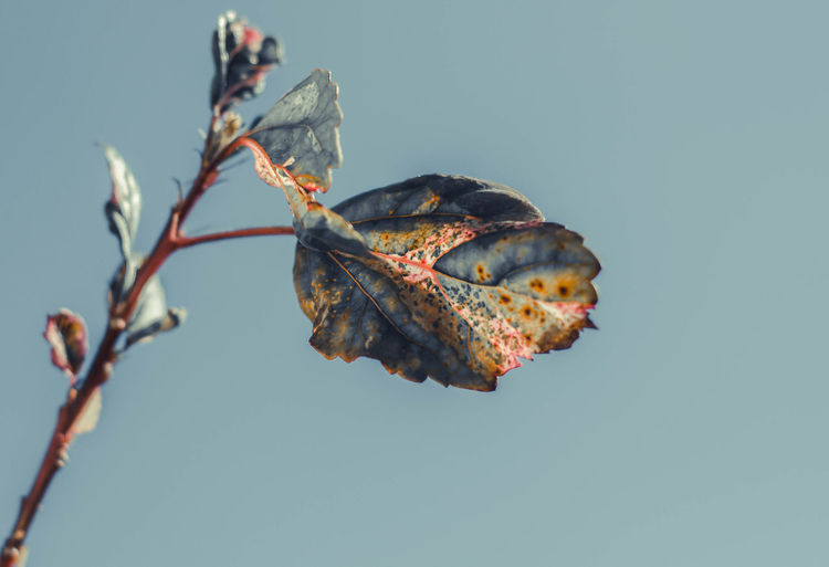 Chinese Rose Beauty In Nature Blue Branch Change Clear Sky Close-up Copy Space Day Dried Dry Focus On Foreground Fragility Leaf Nature No People Outdoors Plant Plant Part Sky Tranquility Tree Vulnerability