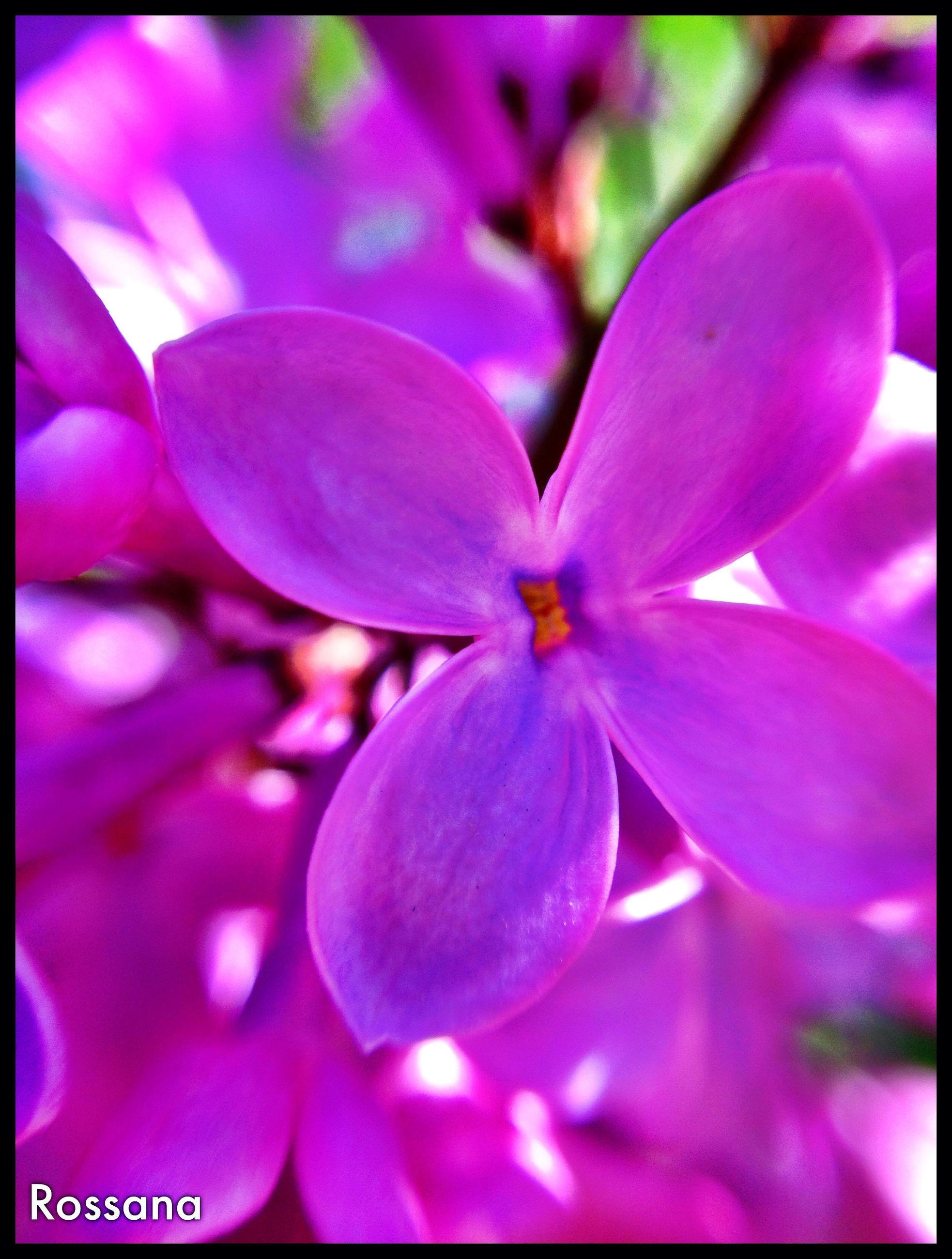 flower, petal, freshness, flower head, fragility, transfer print, growth, close-up, beauty in nature, auto post production filter, nature, stamen, blooming, purple, focus on foreground, pink color, selective focus, pollen, blossom, in bloom