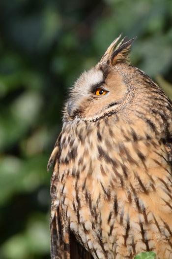 hou hou Prilaga Bird Night Bird Oiseau Nocturne Beautifull Owl Hibou 🦉 Owl Hiboux