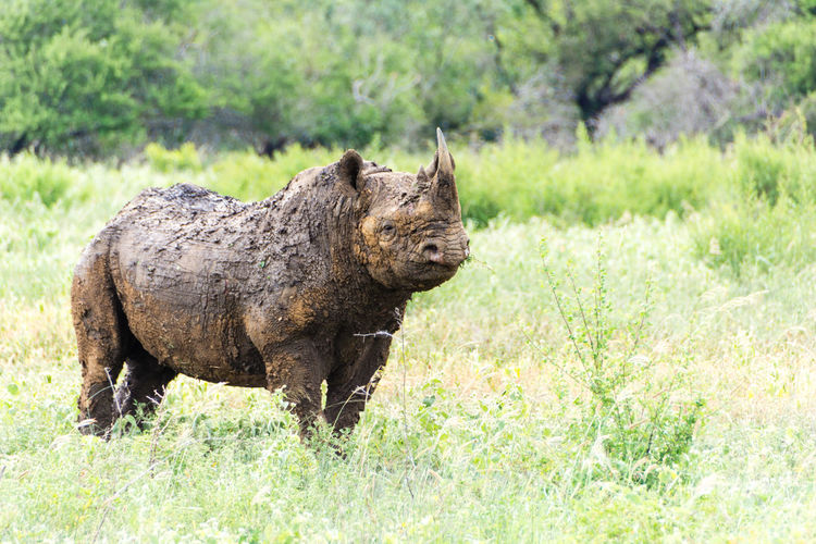 Mud bath and looking proud of it South Africa Natncol Animals In The Wild Phinda Game Reserve Nature Photography Safari Rhino Rhinoceros Mudbath
