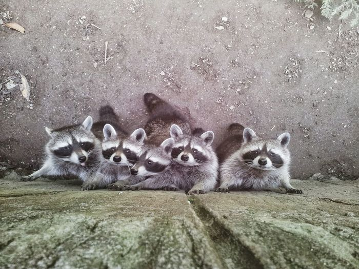High Angle View Of Raccoons