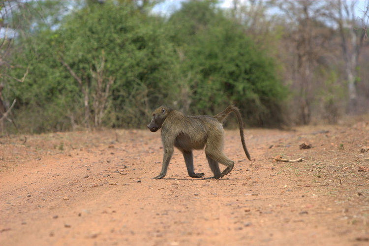 Baboon Walking On Field Against Trees