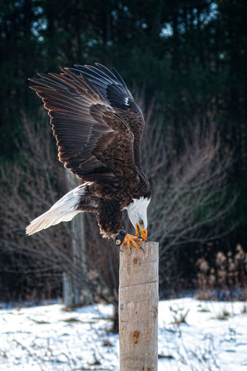 Side view of bald eagle perching on tree stump during winter