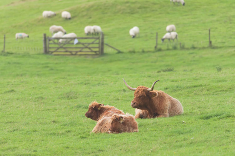 Family trio of highland cattle in an agricultural scene with fence and sheep behind.