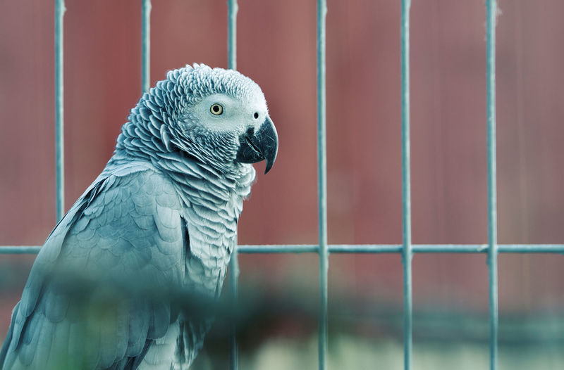 Caged Animal Themes Bird Photography Bird Portait Cage Caged Close-up Curiosity Grey Color Grey Parrot Parrot Psittacus Animals