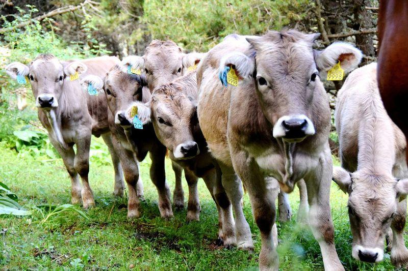 Familie Rinder Kalb Animal Themes Outdoors Kuh Kühe Auf Der Weide Nature Frankreich Spanien Berge Neugieriges Kälbchen