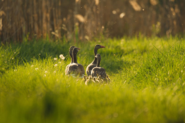 Grass Animals In The Wild Vertebrate Group Of Animals Bird Plant Animal Young Animal Animal Themes Animal Wildlife Goose Young Bird Gosling Field Selective Focus No People Animal Family Nature Day Green Color Cygnet Greylag Goose Geese Geese Family