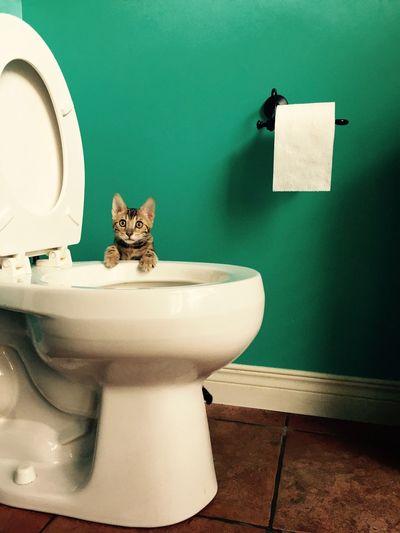 Portrait Of Kitten Hanging On Toilet Bowl Against Green Wall