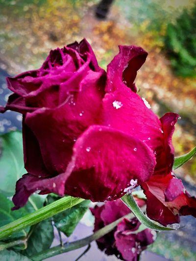 Maximum Closeness Flower Godaminnen BraziliansAbroad Snow ❄ Myfirstsnow Snowflakes on a rose...