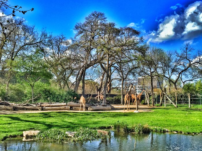 Giraffe paradise. Zoo Day Zoo Animals  March Mornings Get Inspired Share Your Adventure Beautiful Nature Photography Sunlight Beautiful Day Spring March Days Color Explosion Giraffes Garden Photography