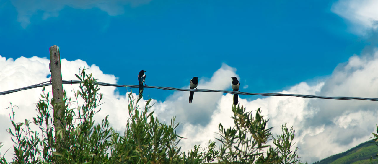 bird, animal wildlife, vertebrate, animals in the wild, animal themes, low angle view, animal, sky, perching, group of animals, nature, blue, day, plant, no people, cloud - sky, two animals, outdoors, cable