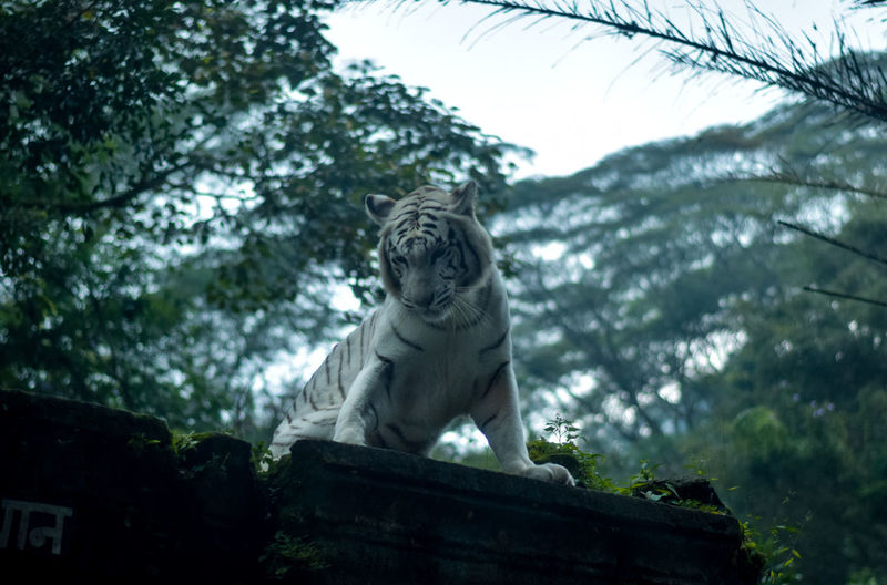 Low angle view of tiger standing against trees in forest