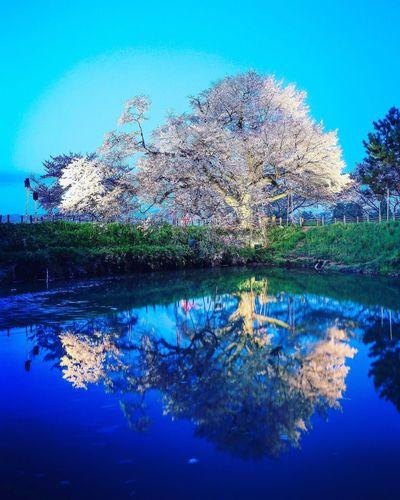 浅井の一本桜 Nature Tree Beauty In Nature Water No People Day Blue Sky Flower Lake Growth Beautiful Cherry Blossoms Nature Japanese  Japan PLZ FOLLOW ME Springtime