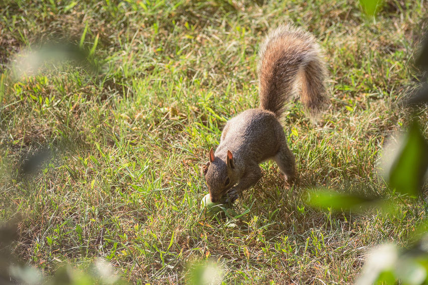 Squirrel Eating a Pear Squirrel Animal Animal Themes Animal Wildlife Animals In The Wild Day Field Grass Green Color Growth High Angle View Land Mammal Nature No People One Animal Outdoors Pear Plant Selective Focus Tree Vertebrate The Great Outdoors - 2018 EyeEm Awards