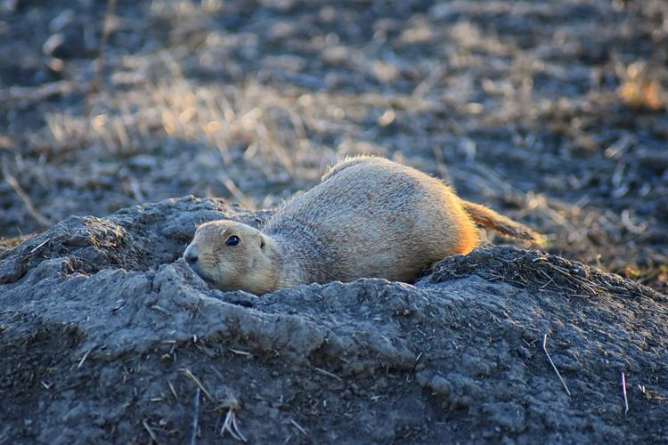 Prairie Dog (genus Cynomys ludovicianus) Black-Tailed in the wild, herbivorous burrowing rodent, in the shortgrass prairie ecosystem, alert in burrow, barking to warn other prairie dogs of danger in Broomfield Colorado by Denver and Boulder. United States. Animal Wildlife Animals In The Wild No People Nature Day Prairie Dog Prairie Endangered  Marmot Shortgrass Barking Fur Alert Danger Warning Eating Cute Furry Funny Standing Burrow Hiding Peekaboo