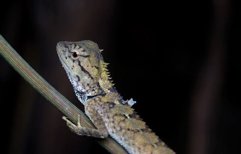 Lizard in the forest Reptile Animal Themes Lizard Close-up Nature Outdoors Macro Macro Photography Macro Reptile Spicies Black Background Forest Reptile In Forest Lizard Close Up Colorful Lizard Nature Photography Nature Shot Reprile Background
