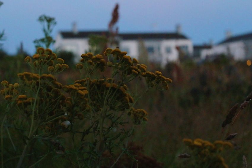 Focus On Foreground Plant Growth Outdoors No People Day Nature Architecture Building Exterior Beauty In Nature Fragility Close-up Sky Flower Freshness Focus On Details Autumn Colours Flower Head Backgrounds Beauty In Nature Tansy Yellow Bunch Night Yellow Flowers
