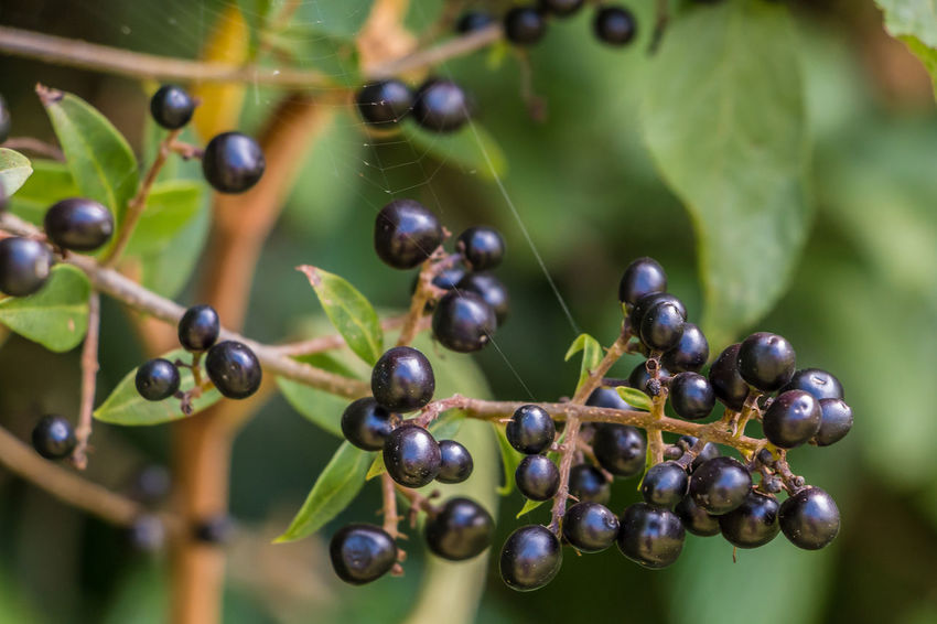 Black berries and green leaves on a bush in the garden Agriculture Beauty In Nature Black Olive Bunch Close-up Day Focus On Foreground Food Food And Drink Freshness Fruit Grape Green Color Growth Healthy Eating Leaf Nature No People Outdoors Plant Raw Coffee Bean Tree