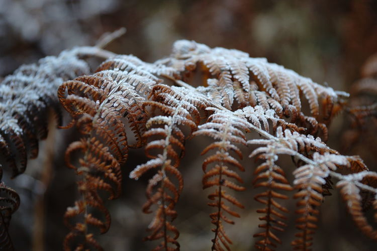 Background Botany Brown Close-up Cold Detail Fern Fragility Frosty Hoarfrost Leaf Leafs Plant Wildlife Winter