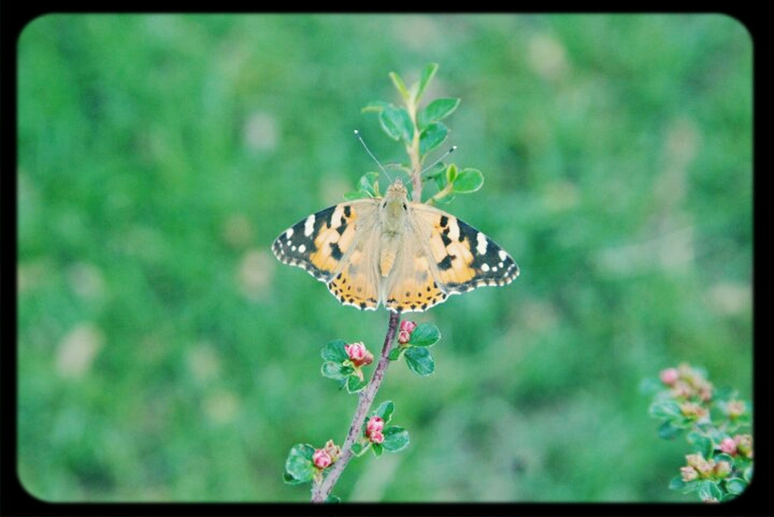flower, one animal, animal themes, animals in the wild, insect, wildlife, butterfly - insect, butterfly, fragility, transfer print, focus on foreground, plant, freshness, beauty in nature, growth, close-up, nature, pollination, auto post production filter, animal markings