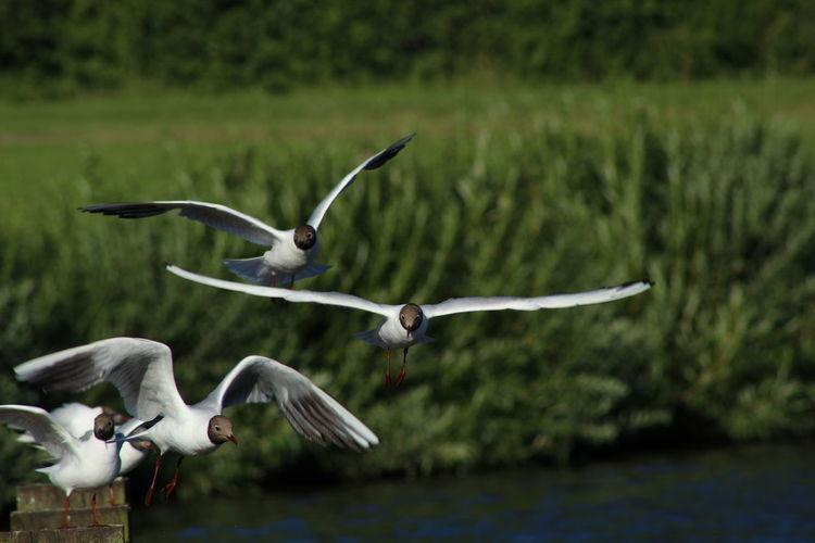 Black-Headed Gulls Flying Against Plants