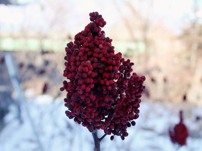 Outdoors Red Plant Close-up Snow Winter Rhode Island EyeEmNewHere