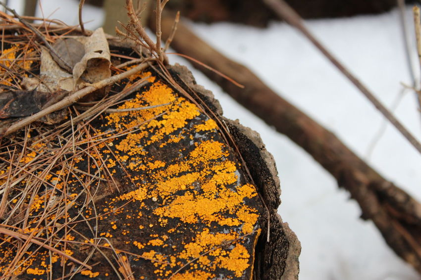 Bright Orange Fungus Close-up Nature Macro Macro Photography New Camera Canon 1300d Canon Tree Trunk Nature Beauty In Nature Mushrooms Close Up Forest Orange Fungus Trees Outdoors Snow Snowy Winter Winter Wonderland