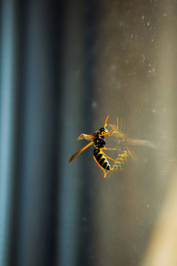 Close-up of wasp on glass window