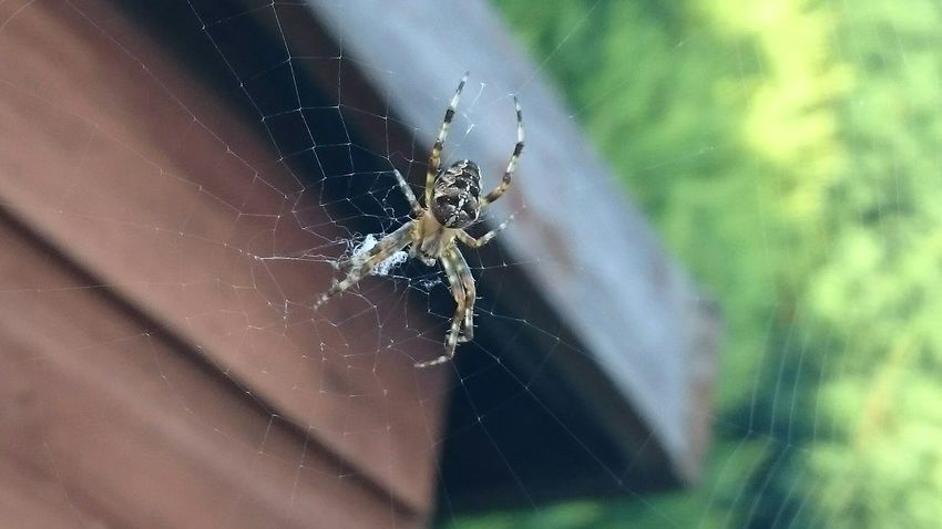 Spider on its web Nature Nature Photography Nature On Your Doorstep Naturelovers EyeEm Nature Lover Nature_collection Urban Nature Beautiful Nature Spider Spider Web Spiderworld Showcase: January Macro Macro Nature Macro Photography Macro Beauty Perspectives On Nature