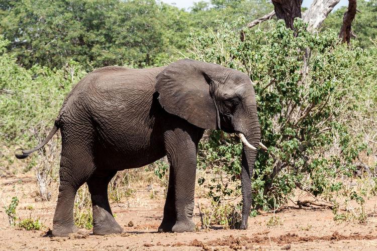 Elephant walking in a row