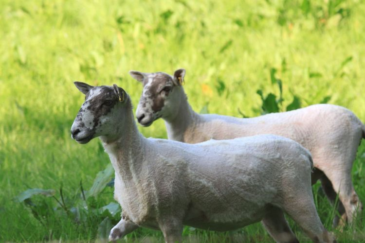 Goats walking in field