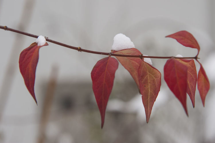 Close-up of red leaves during winter