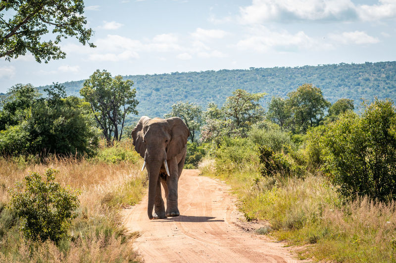 View of elephant walking on road amidst trees