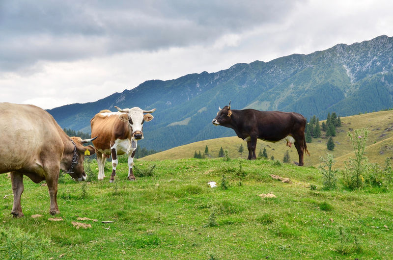 Agriculture Animal Animal Themes Bull Carpathian Carpathian Mountains Carpathian Nature Carpathians Cloud - Sky Cow Domestic Animals Grass Grazing Herd Of Cows Landscape Livestock Magura Mammal Nature No People Outdoors Pasture Romania Rural Scene Sky
