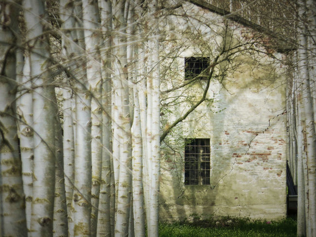 Country House Farm Forest Outdoors Plantation Poplars Weathered White Trees WoodLand