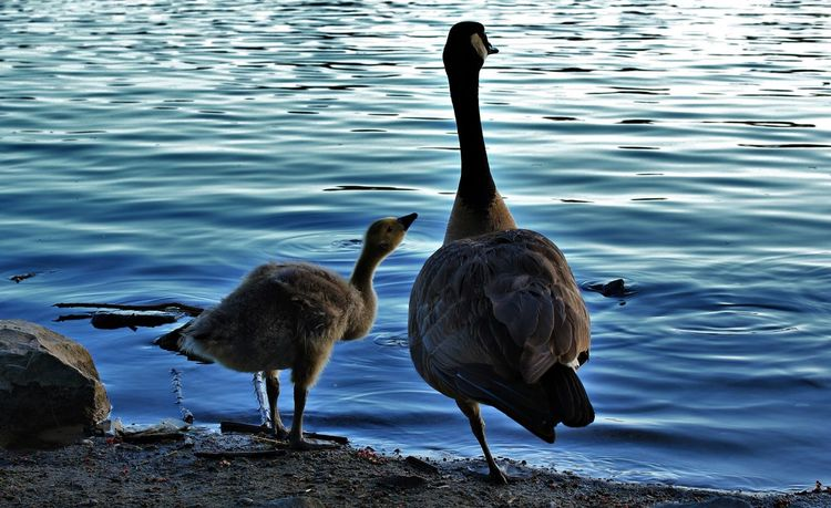 Mom And Baby Geese Geese Family Goose Baby Goose Baby Bird Learning Bonding Bond Birds Father And Son Lookout On The Lookout Water Animals In The Wild Bird Evening Canadian Geese Canadian Goose Canon Canonphotography Canon Photography Canon Photo