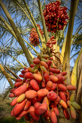 palm dates tree Nature Palm Tree Abundance Beauty In Nature Bunch Dates Day Food Food And Drink Freshness Fruit Growth Healthy Eating Low Angle View Nature No People Outdoors Palm Tree Plant Red Red Color Ripe Sweet Food Tree Tropical Fruit Wellbeing