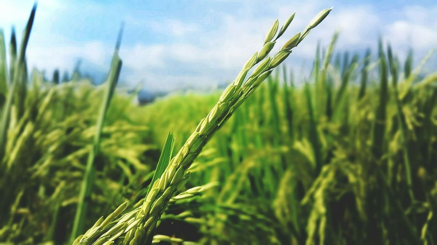 Photography Check This Out Enjoying Life Rice-field
