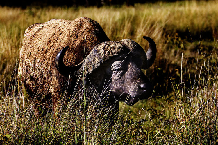 Big five Buffalo Animal Themes Beauty In Nature Big Five Animals Big Five Buffalo Bigfive Buffalo Buffalo Day Domestic Animals Field Grass Horned Mammal Nature No People One Animal Outdoors