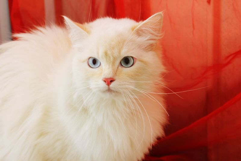 Snowie Red Katt Ragdoll Cats Ragdoll Cat Ragdoll Snowie Domestic Cat Pets Domestic Animals Feline Animal Themes One Animal Looking At Camera Whisker