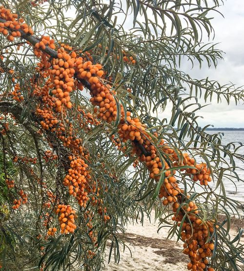 Health Food Health Baltic Seaside Sanddorn Sea Buckthorn Buckthorntree Fruit Orange Color Tree Food And Drink Food Nature Growth Beauty In Nature Healthy Eating Freshness
