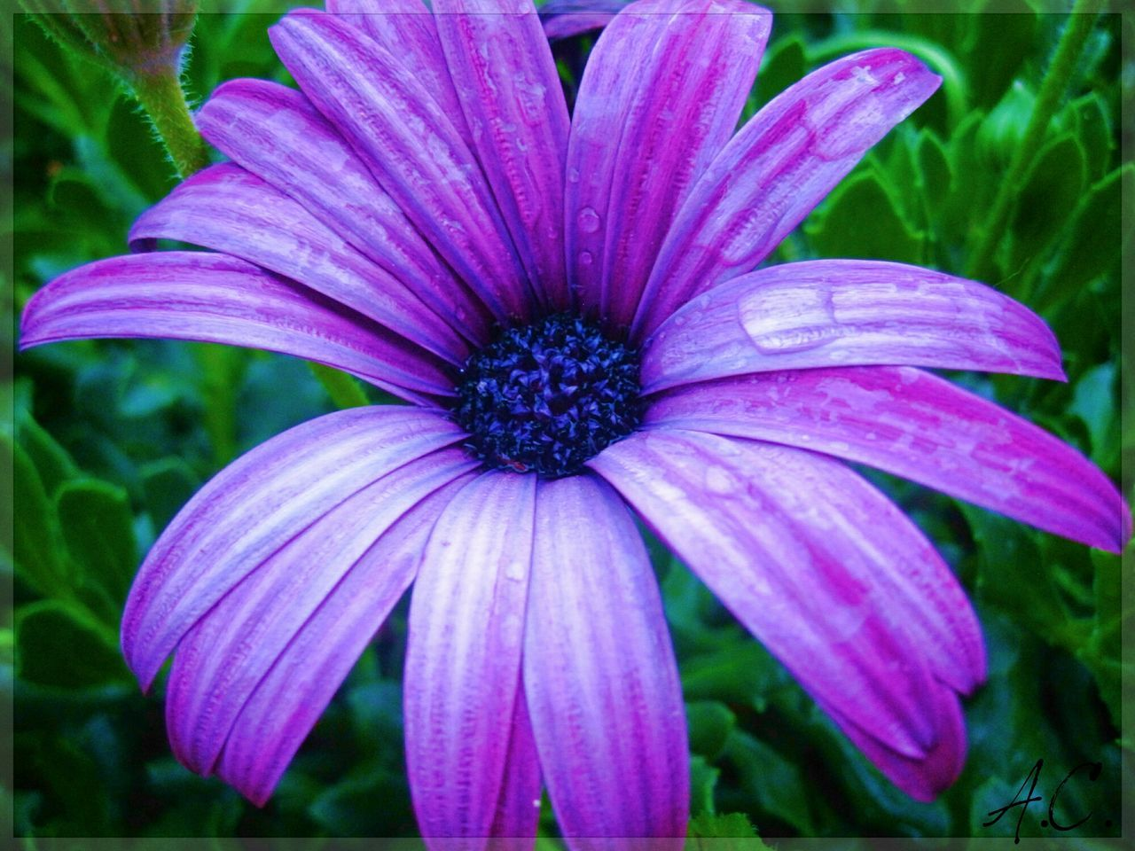 flower, petal, fragility, nature, plant, flower head, blooming, beauty in nature, outdoors, freshness, growth, close-up, day, no people, osteospermum