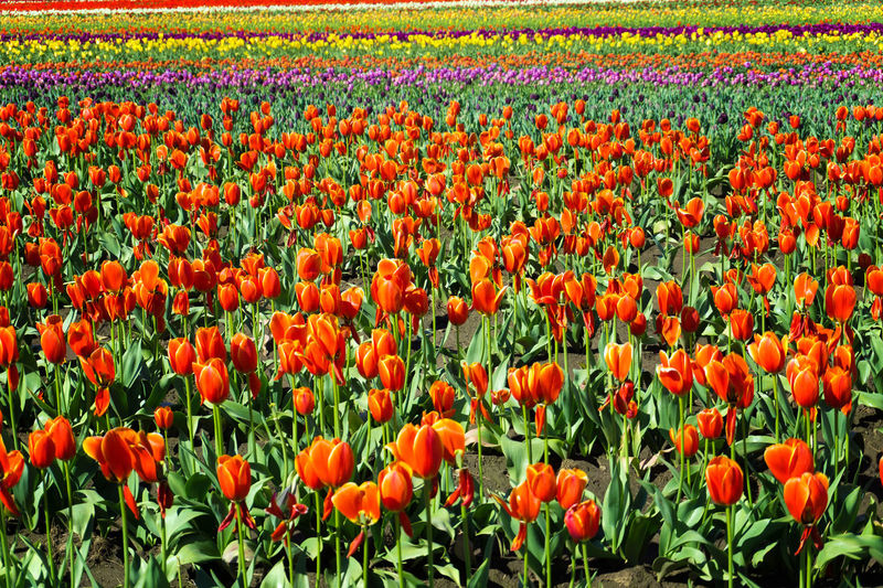 View of orange tulips in a beautiful field in Woodburn, Oregon Agriculture Bloom Blossom Countryside Farm Field Fields Floral Flower Flowers Garden Green Landscape Nature Oregon Outdoors Plant Rural Scenic Season  Tulip Tulips United States USA Woodburn