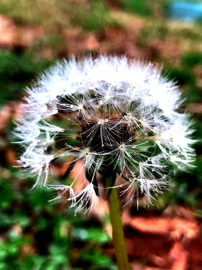 Dandelion Dandelion Dandelion Seeds Agoseris Grandiflora Nature Growth Focus On Foreground Close-up Fragility No People Flower Outdoors Beauty In Nature Day Plant