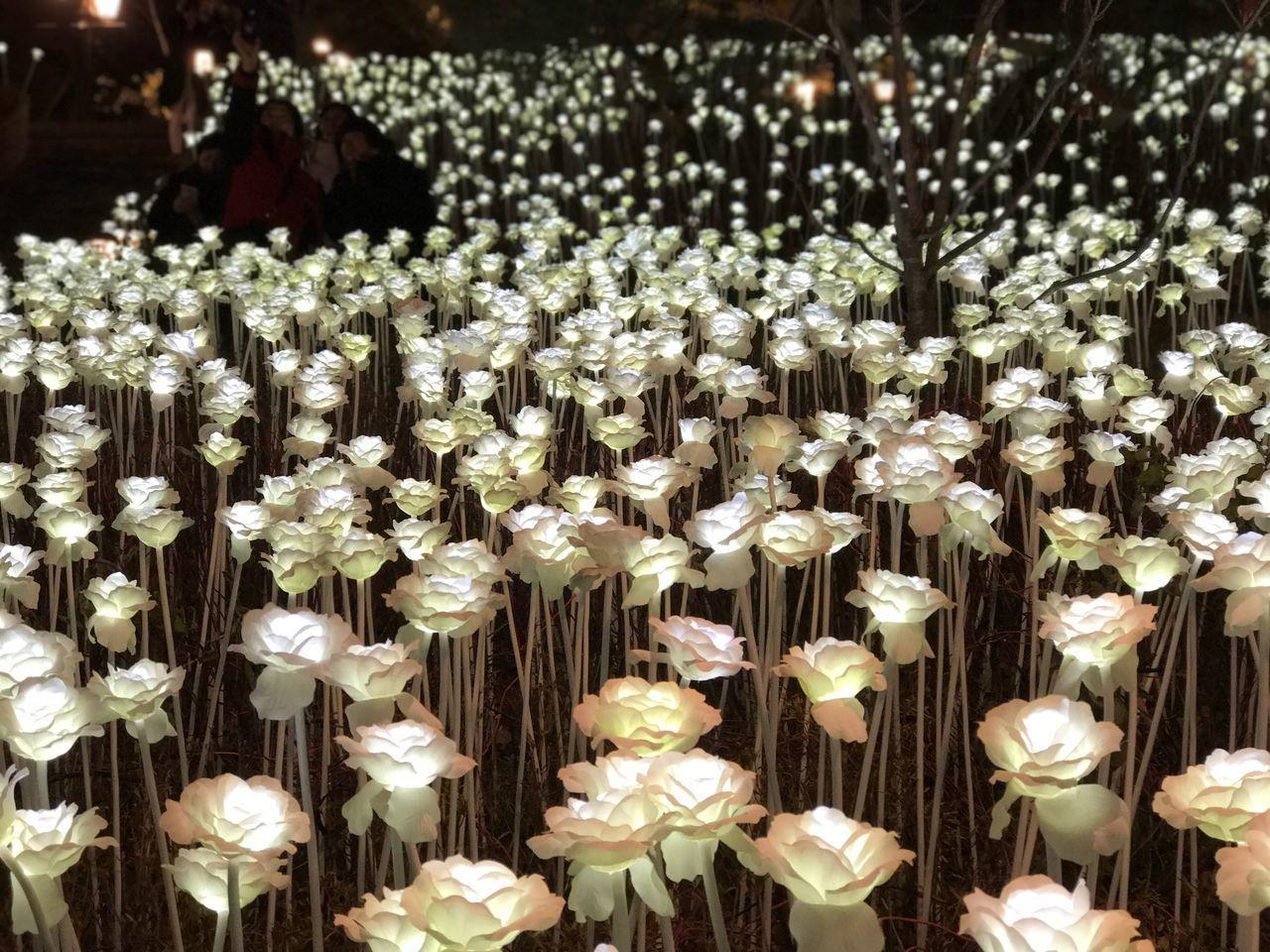 no people, abundance, nature, flower, indoors, close-up, day, flower head
