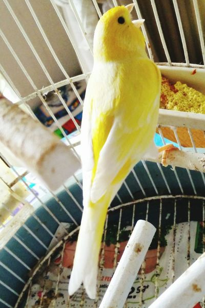Animal Themes Animals Bird Canary Close Up Close-up Detail Domestic Animals No People Singing Singing Bird White White Color Yellow