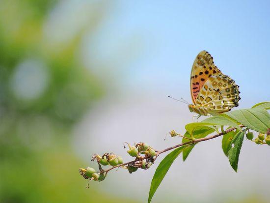 君の街の空は今日は何色ですか… イマソラ ヒョウモンチョウ 蝶々 Butterfly Collection Butterfly - Insect Insect Collection EyeEm Nature Lover EyeEm Best Shots Taking Photos Eyemphotography EyeEm Gallery EyeEm Best Shots - Nature Beauty In Nature My Point Of View Sky_collection