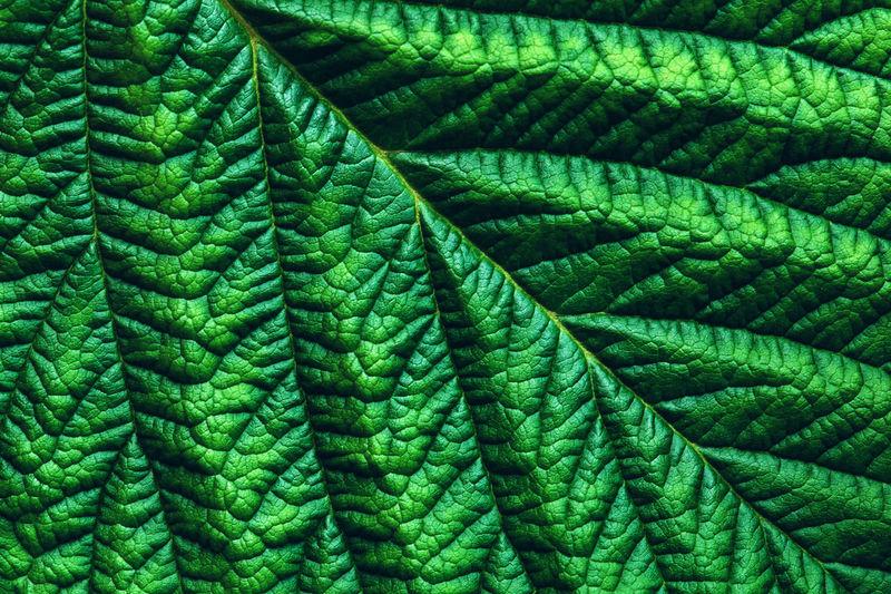 Green leaf macro texture, full-frame shot