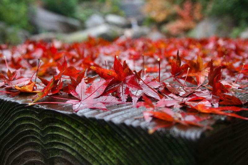 Fall in Miyajima EyeEm Japan Japan Japan Photography Japan Autumn Japanese Autumn Miyajima Autumn Beauty In Nature Close-up Falling Leaf Leaves Red Tranquility